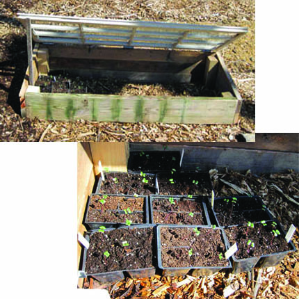 Cold Frame & Cabbage Seedlings