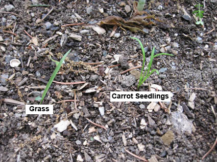 How to tells carrot sedlings from grass