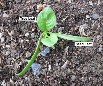 Spinach Seedling