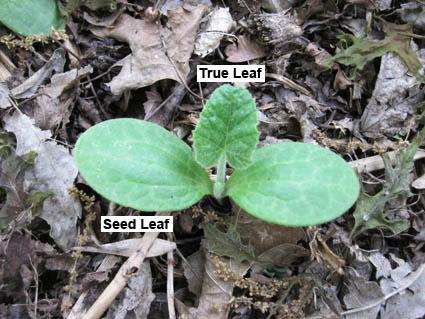 Squash Seedling