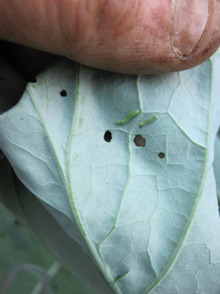 Small Cabbage Worms on Broccoli Leaf