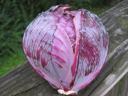 Split Cabbage Leaf