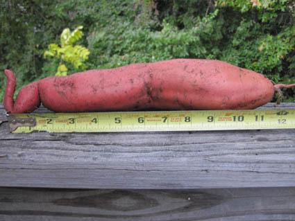 First Sweet Potato