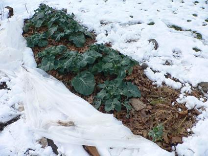 Broccoli- A Cool Season Vegetable