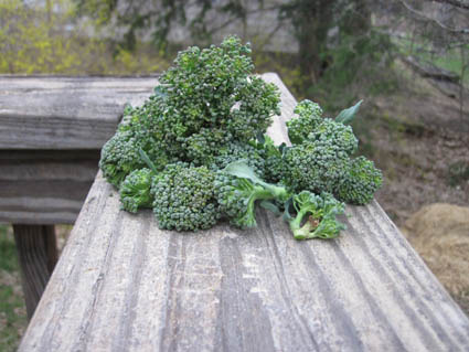 First Harvest 2011 - Broccoli