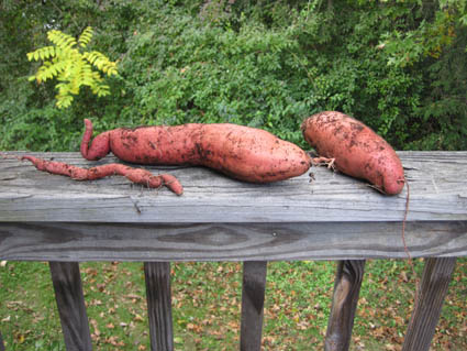 Sweet Potatoes- Grew for the First Time in 2010
