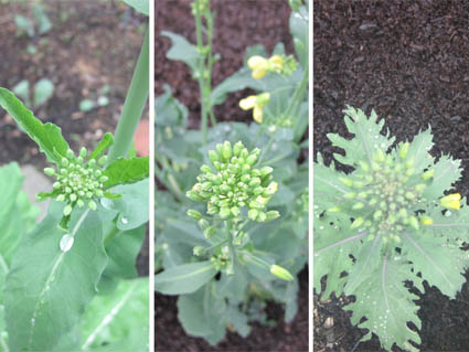 Rutabaga flowers, Broccoli flowers, Kale flowers