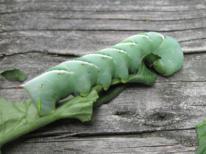 Mature Tomato Hornworm