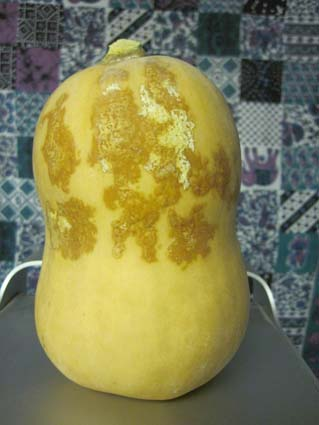 Butternut Squash- Blemished, but perfectly edible