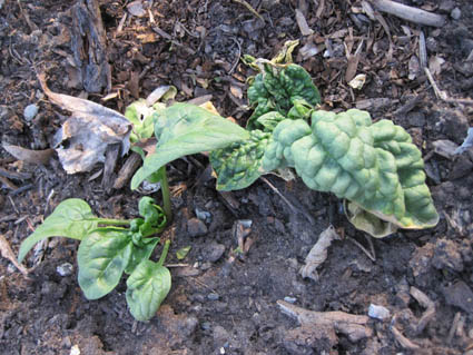 Spinach the Survived the Winter