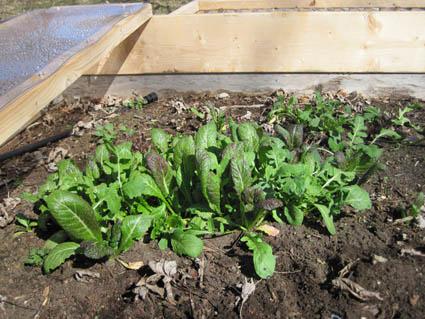 Arugula, Lettuce & Mustard