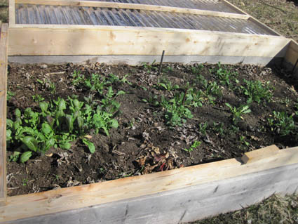 Greens in Cold Frame- March 4, 2013